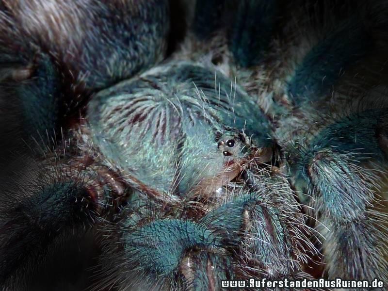 http://www.auferstandenausruinen.de/wp/wp-content/gallery/avicularia-metallica/intimacy-eyesno3.jpg